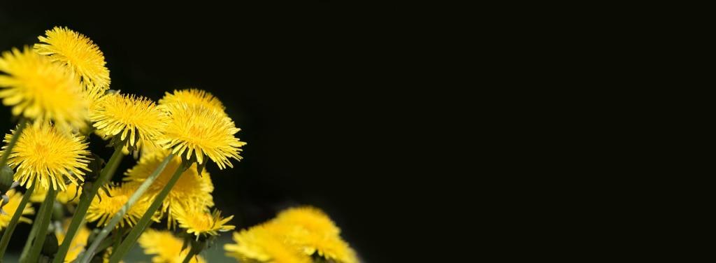 dandelion-1486220_1280