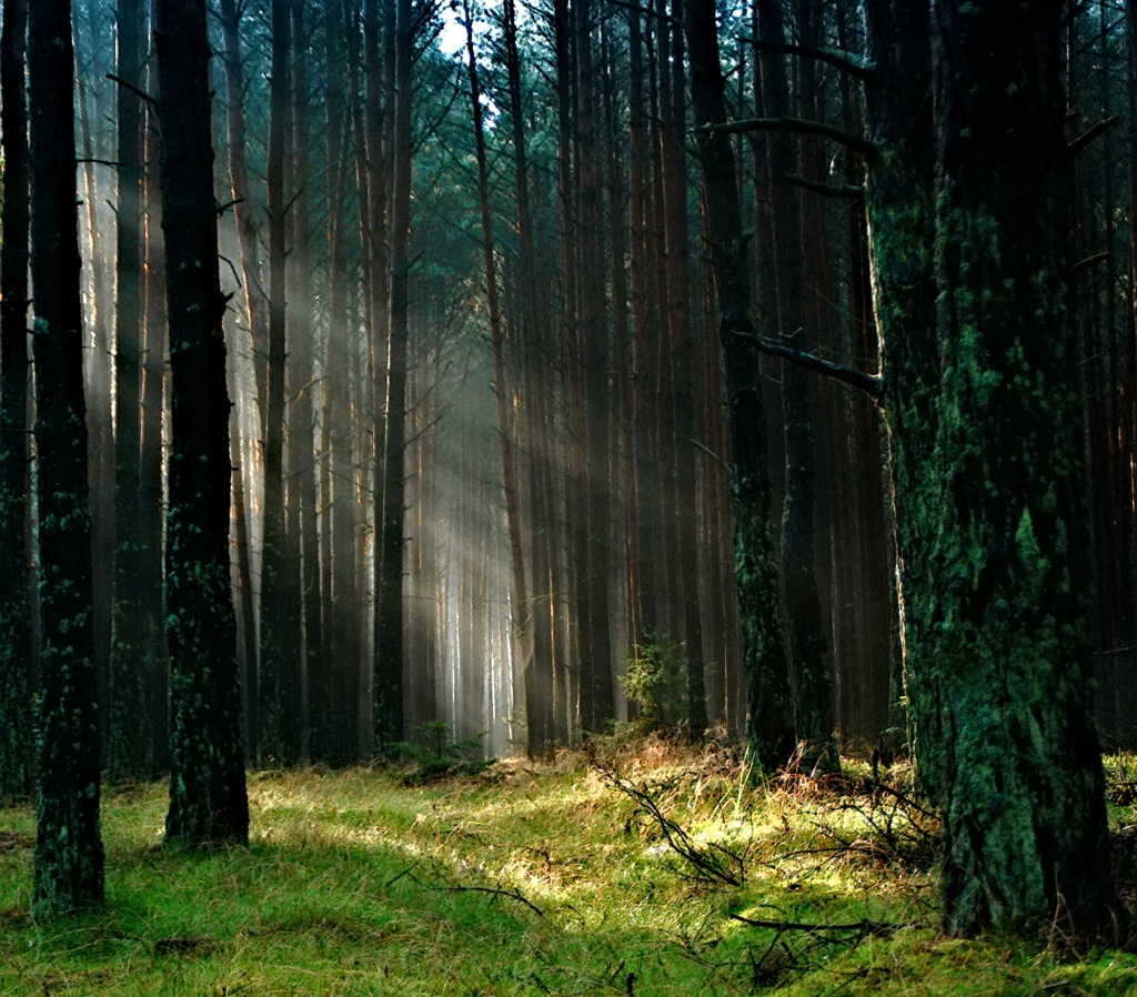 forest-the-sun-morning-tucholskie-158251