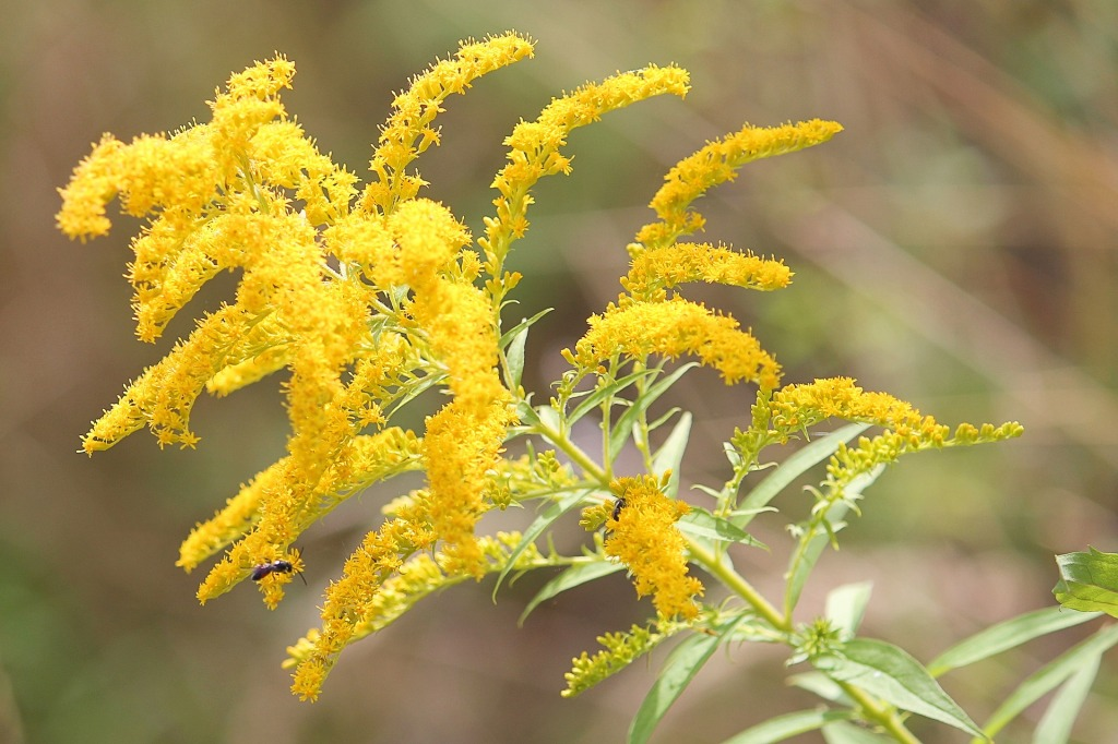 golden-rod-1586871_1920