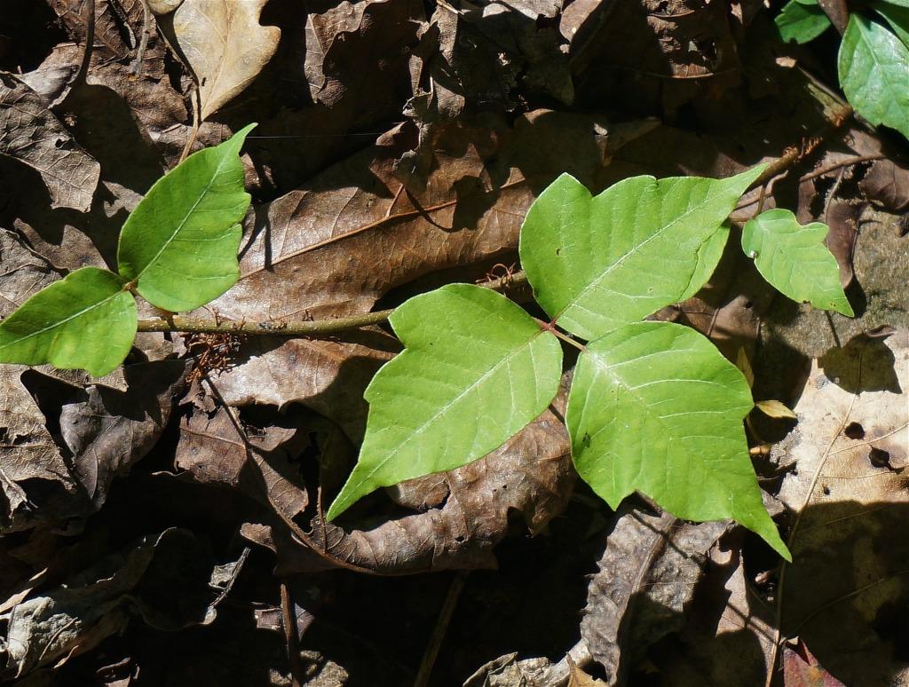 poison-ivy-1652109_1920-1