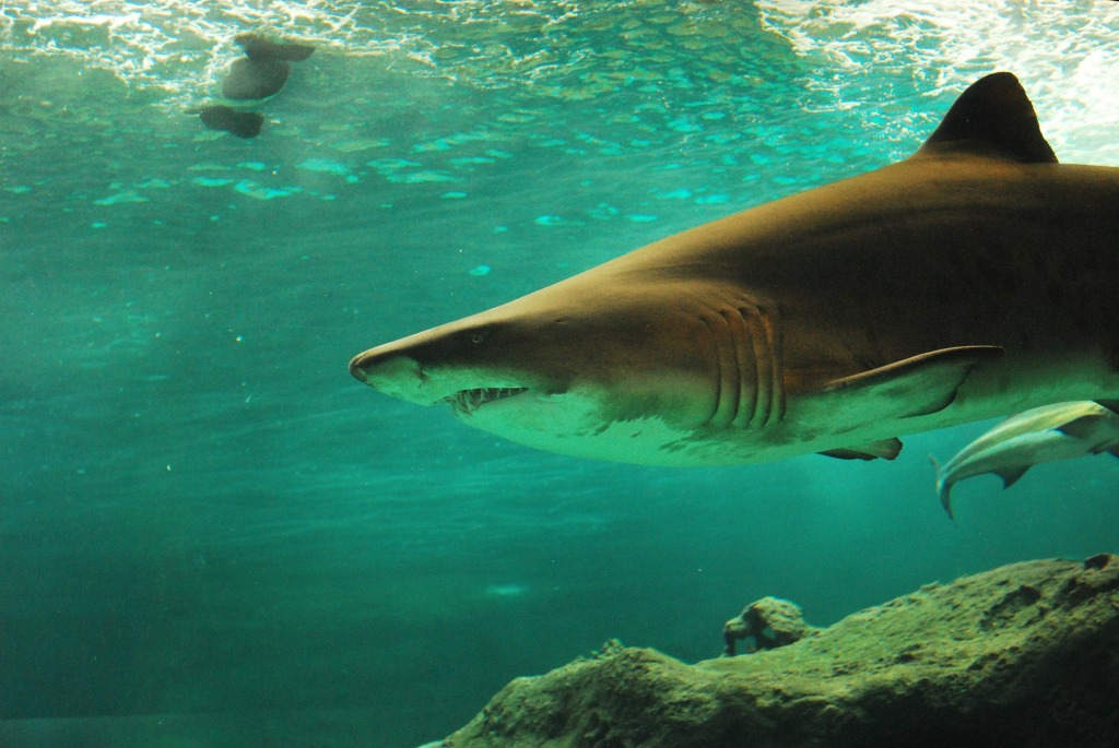 shark-506025_1920