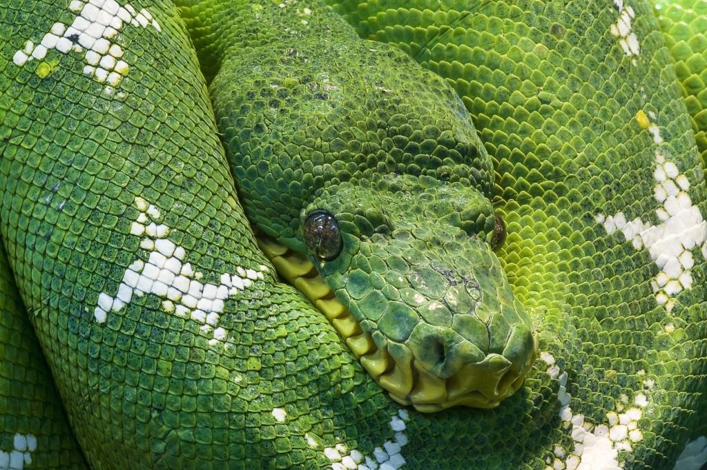 snake-python-animal-scale-45843